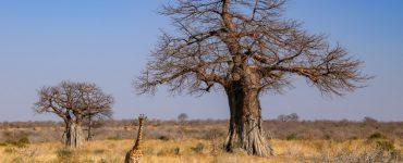 Safaris Tanzanijoje: Ruaha