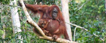 Borneo salos pažibos – orangutanai. Pasimatymas, kuris išliks atmintyje ilgam