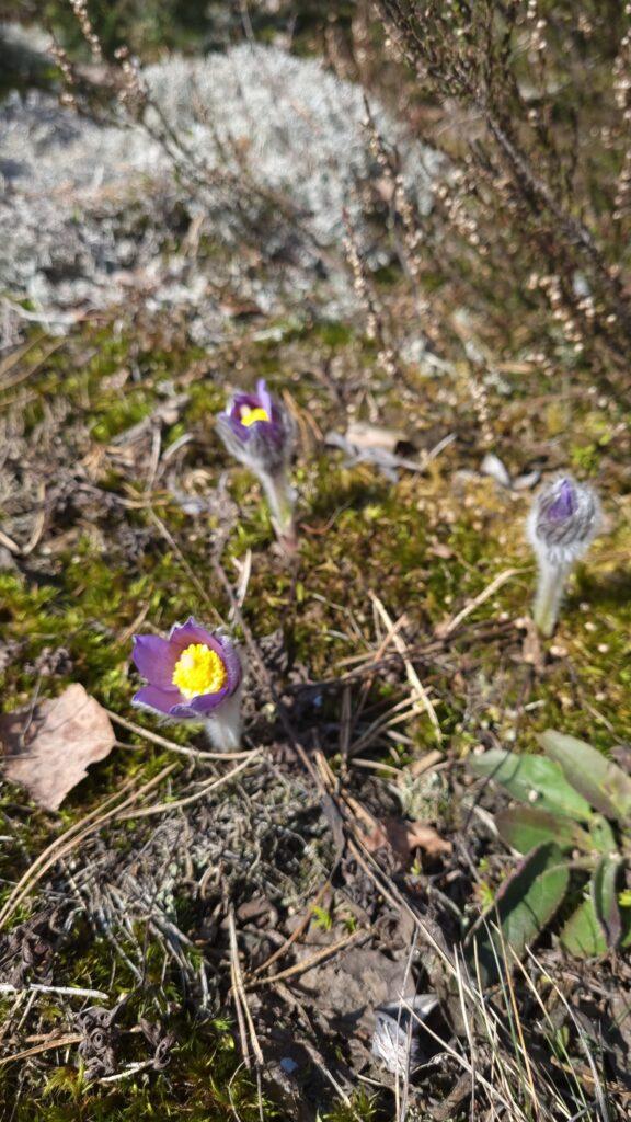 Rūdninkų žemyninė kopa. Pirmosios gėlės